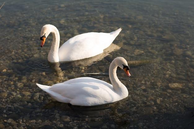 池を泳ぐ美しい白鳥