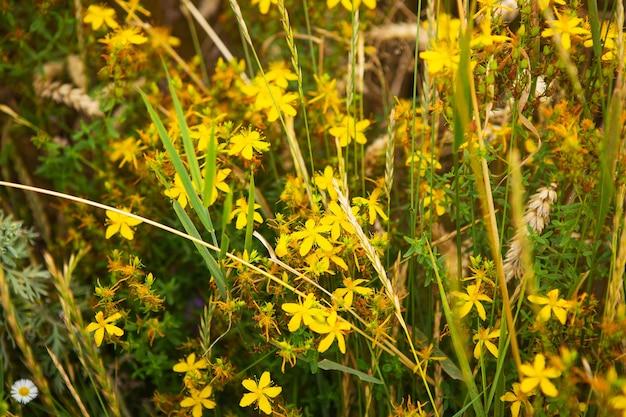 밀밭 한가운데 아름다운 노란색 세인트 존스 워트