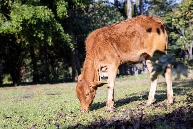 農場で草を食べている美しい若い女性の赤い牛。フリーレンジのコンセプト。