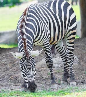 動物園サファリの美しいシマウマ