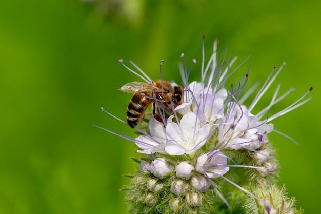 ミツバチはハゼリソウの花から蜜を集めます。