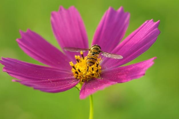 꿀벌은 밝은 분홍색 꽃 코스모스, 녹색 흐린 배경에 등을 돌리고 꿀을 수집합니다.