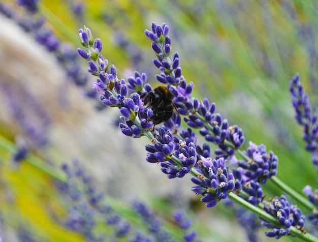 벌은 라벤더 꽃에서 천도 복숭아를 수집합니다.