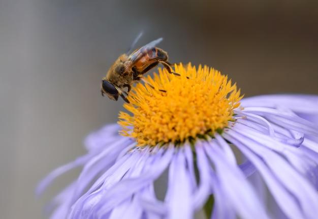 ミツバチは紫色の花から花粉を収集します、クローズアップ。
