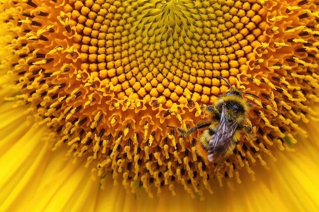 ミツバチはヒマワリのクローズアップで花粉を収集します