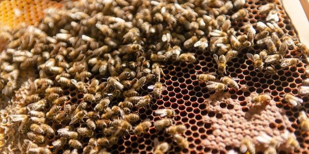 Пчелиная семья ползает вокруг своей матки пчелы. пчелиная матка ползает в своем улье.