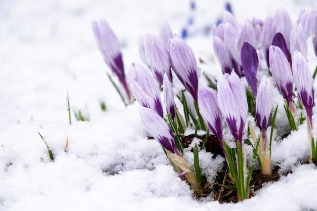雪に咲くサクラソウにミツバチが飛ぶ
