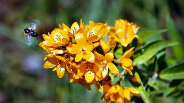 꿀을 위해 꽃가루를 수집하는 노란색 꽃 앞에서 비행중인 꿀벌. 지구 생태계에 유용한 곤충