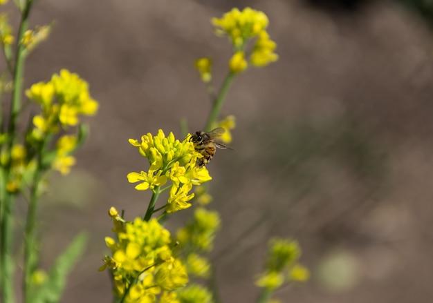 야채 정원에서 노란 겨자 꽃에 꿀벌