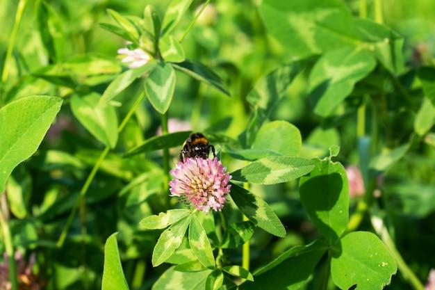 蜂はクローバーの花に座っています。