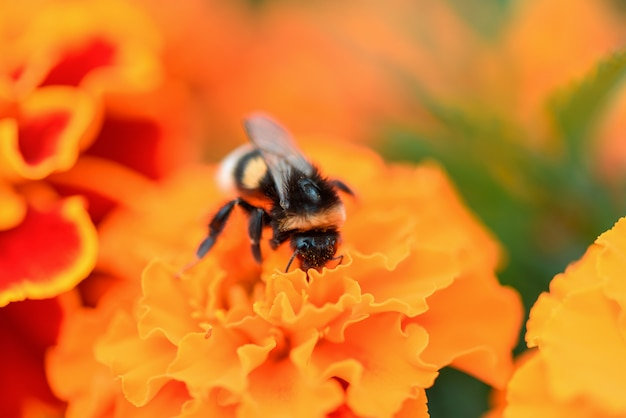 カレンデュラの花のクローズアップの蜂。蜂は蜜を集めて蜂蜜を作り、マリーゴールドの花を受粉します