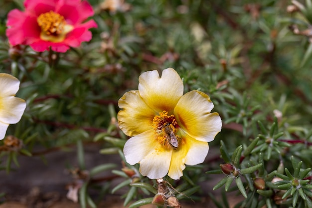 노란 쇠비름 꽃에 꿀벌입니다. 곤충과 식물의 수분. 여름 테마입니다. 확대. 선택적 초점.