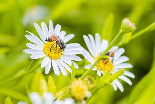 Пчела сидела на красивом цветке ромашки и естественных зеленых листьях.