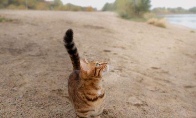 Домашняя бенгальская кошка гуляет по песчаному берегу у озера.