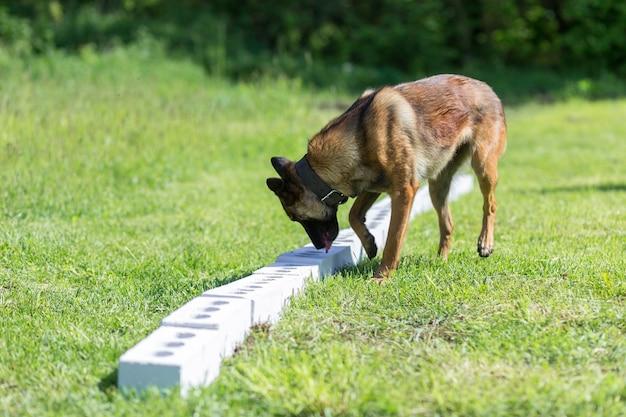 Бенгальская овчарка обнюхивает ряд кирпичей в поисках одного с спрятанным предметом. обучение дрессировке служебных собак для полиции, таможни или пограничной службы.