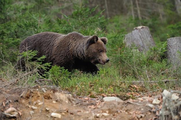 Большой бурый медведь в лесу