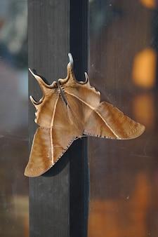 큰 갈색 나방이 문에 매달려 있습니다. 태국 북부에서 발견 된 밤 나비.