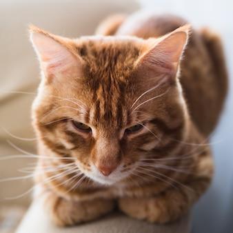 大きな生姜ぶち猫