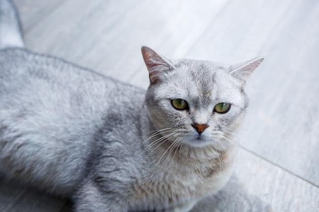 大きな灰色のふわふわの猫が床に横たわっています。ペットの概念。