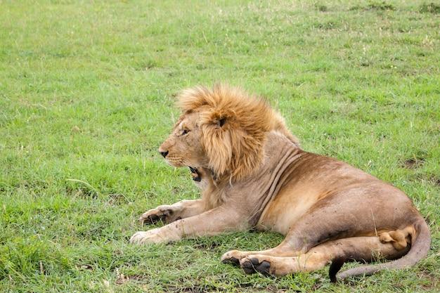 大きなライオンが草で牧草地に横たわっているあくび