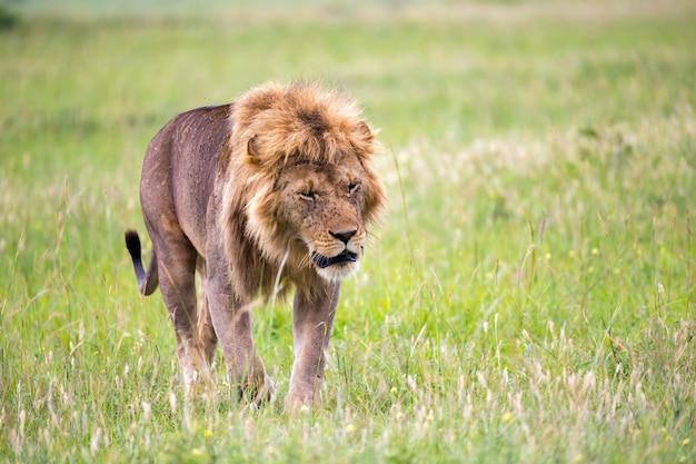 Большой лев-самец гуляет по саванне