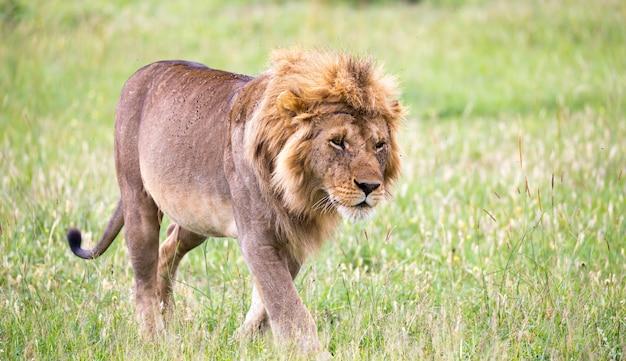 大きな雄ライオンがサバンナを歩いています