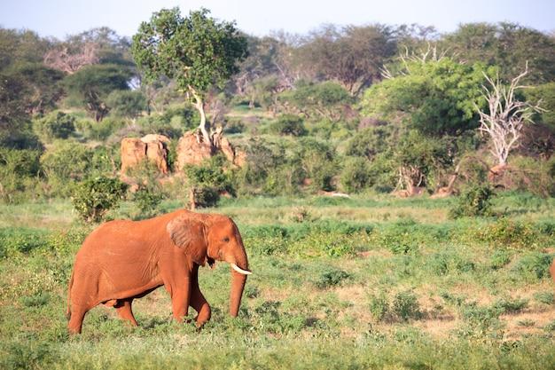 Большой красный слон идет по саванне между множеством растений.