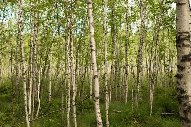 白樺は、ベチュラ属の薄葉の落葉広葉樹です。
