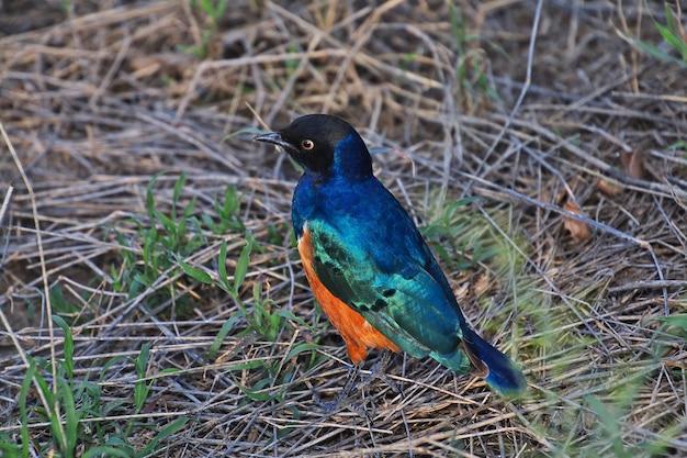아프리카 케니 아와 탄자니아의 사파리에있는 새