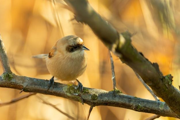 Самец bird penduline tit remiz pendulinus.