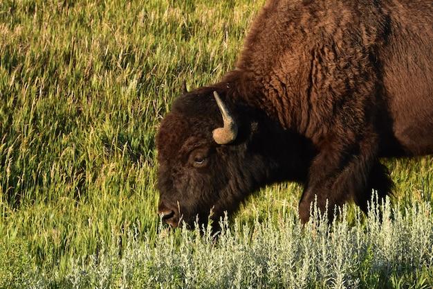 Бизон гуляет по высокой дикой траве в прерии южной дакоты.