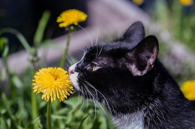 Черно-белый кот в траве на солнышке нюхает желтый цветок одуванчика.
