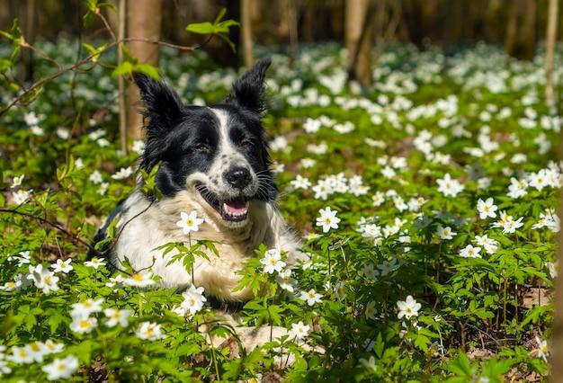 검은색과 흰색 개가 꽃이 만발한 공터에 웃고 있습니다.