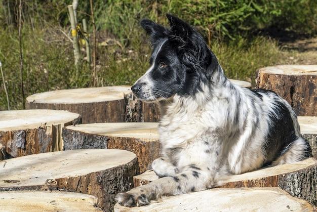 흑백 개가 그루터기의 나무 부분에 발을 집어넣고 누워 있습니다.