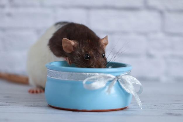Черно-белая крыса ест сметану из синего глиняного горшка