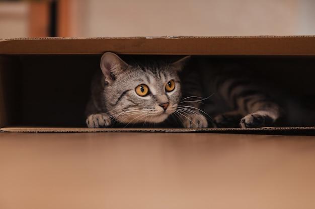 검은색과 흰색의 얼룩무늬 고양이가 바닥에 있는 판지 상자에 올라타서 그 안에서 장난을 쳤습니다.