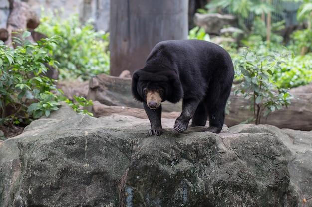 Черный медведь в зоопарке дусит, таиланд.