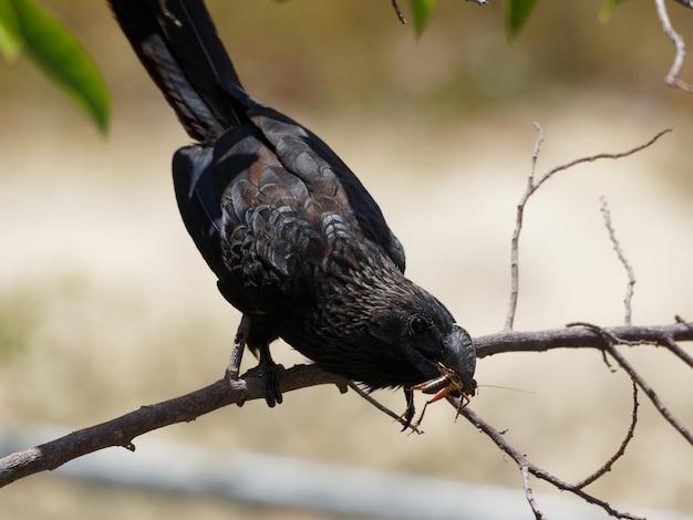 Черная птица поймала кузнечика на ветке