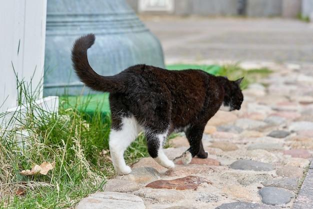 흰 반점이 있는 검은 고양이가 푸른 잔디 위를 걷고 있습니다. 푹신한 검은 고양이의 초상화