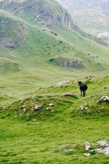 몬테네그로 두르미토르 국립공원 자블랴크의 푸른 산에 있는 검은 암소