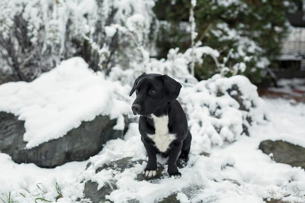 긴 귀를 가진 검은 개가 눈에 앉는다. 발바리.