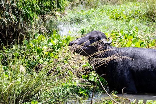 Черный домашний буйвол ест травы из пруда в джунглях