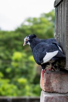 벽돌 기초 위에 서 있는 검은 비둘기