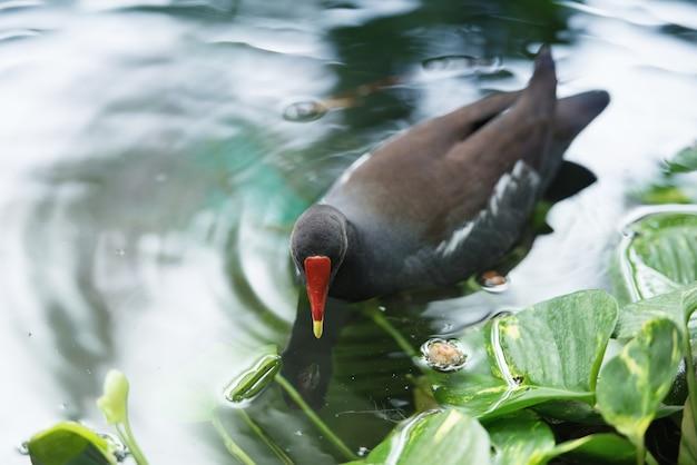 검은 오리가 물에 떠 있습니다. 도미니카 공화국의 동물군.