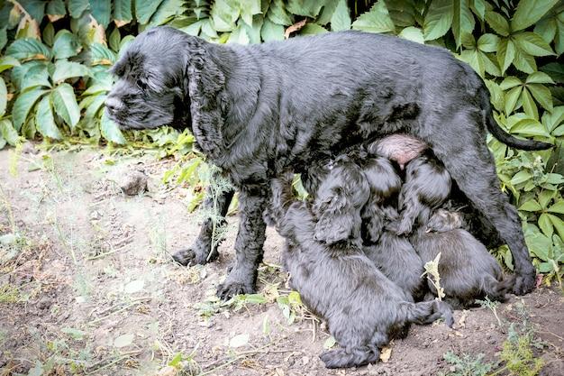 Черная кошка американского кокер-спаниеля кормит своих щенков, стоя в саду.