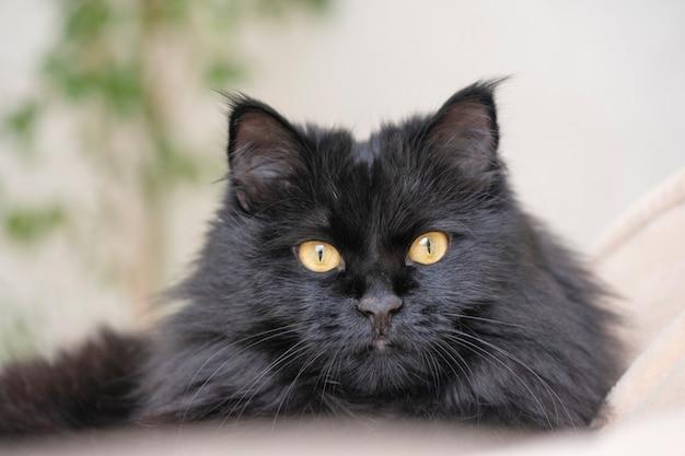 노란 눈을 가진 검은 솜털 고양이가 집에 누워 쉬고 있습니다.
