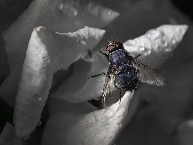 물방울이 있는 꽃의 꽃잎에 검은 파리