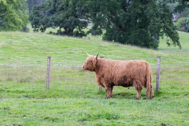スコットランドの田舎の農場で遊んでいる黒いハイランド牛