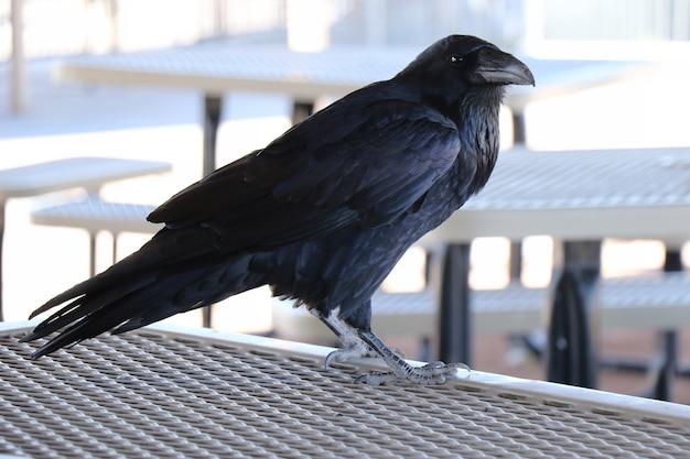 Черный ворон сидит на металлической рейке