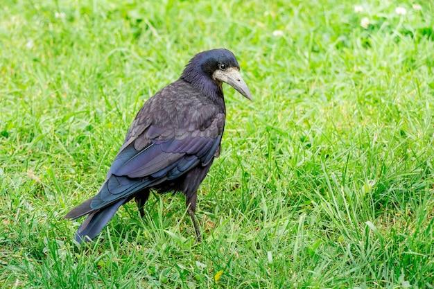 黒いルーク(カラス)が夏の森の緑の芝生の上を歩く_